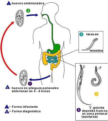 medicamente pentru tratarea condiloamelor la bărbați taxonomie viermi
