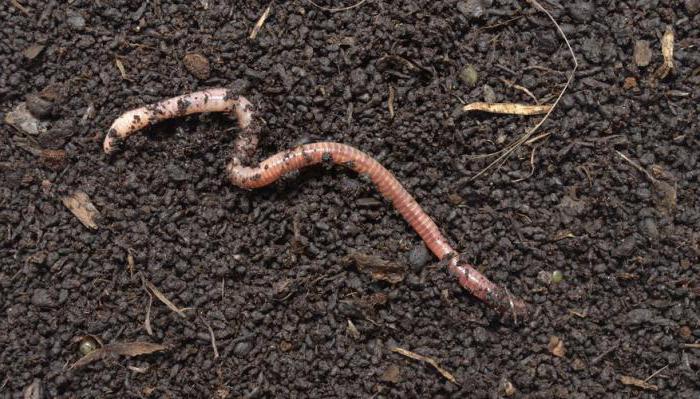 cum să trimiteți viermi albi viermii trăiesc în sol
