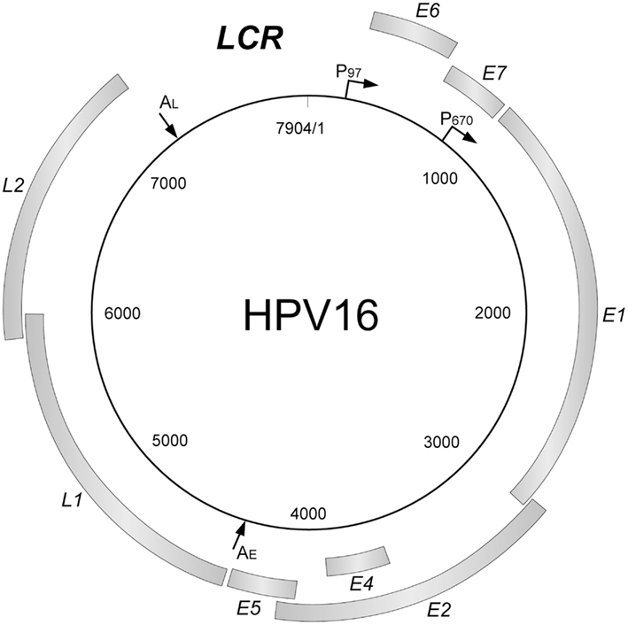Papillomavirus genome - Cancer de colon no poliposico