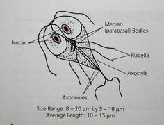 este protozoa giardia
