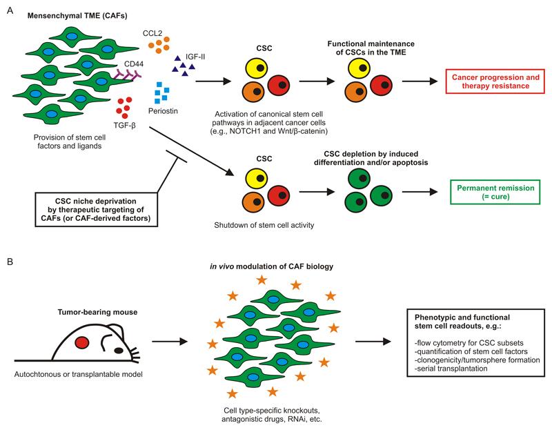 benign cancer stem cells de la negi genitale în locuri intime
