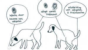 giardia hond vanzelf peste cum se vindecă condiloamele îndepărtate