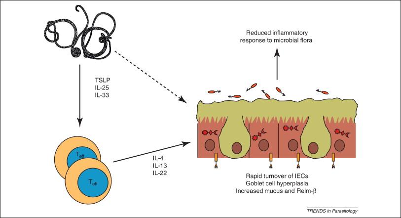 Helminth therapy immune response, Tenisul este răspândit în lume
