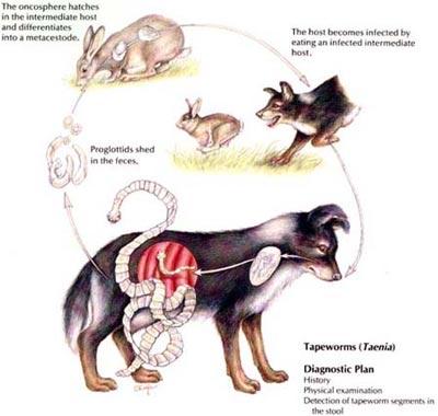tenia la caini si pisici pastile complexe pentru paraziți