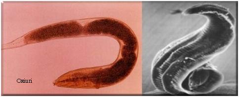 Tratament viermi intestinali Germitox – pret, prospect, forum, farmacii