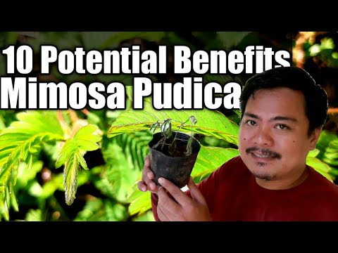 Paraziti mimosa pudica. Que es cancer generalizado
