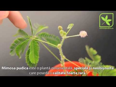 paraziti mimosa pudica