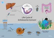 Sherlock's Diseases of the Liver and Biliary System, Schistosomiasis features