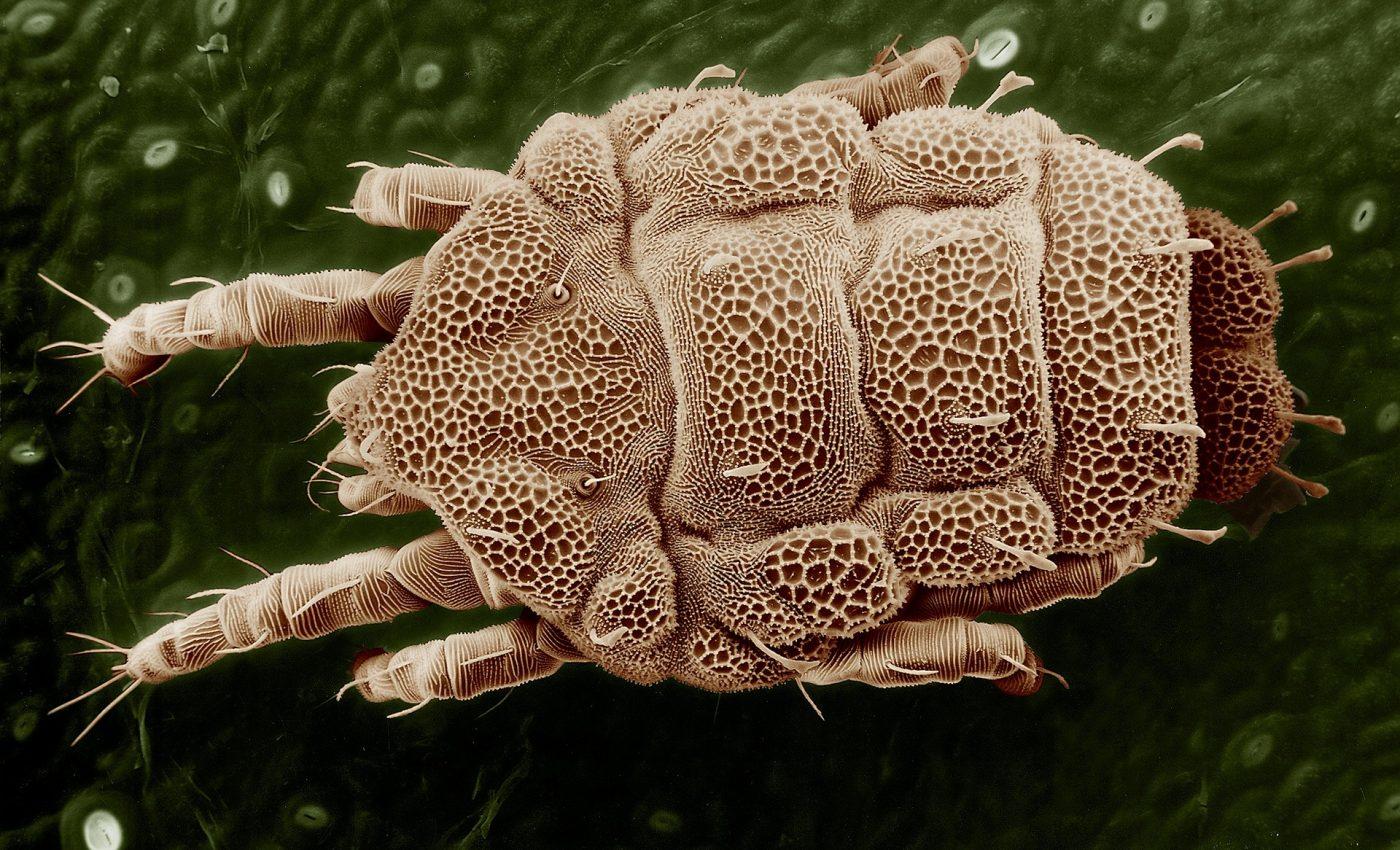 paraziti fata