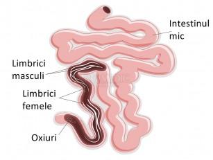 Dirofilarioza: boala viermelui la inima – VetCenter