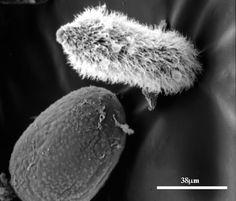 un parazit fungic