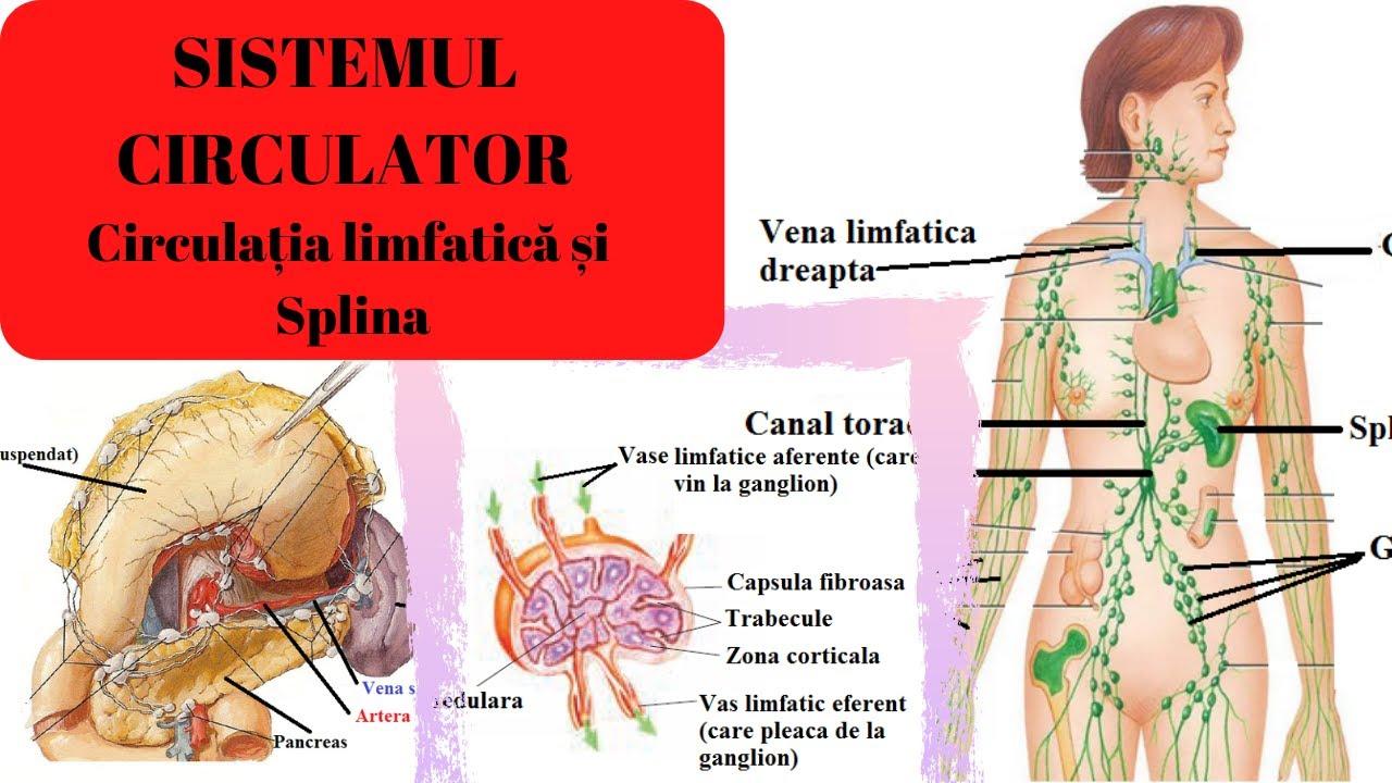 ciclul circulator în corpul uman