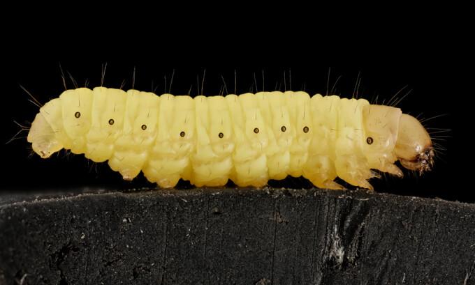 ambarcațiunea cu găuri de vierme tratamentul pitic de tip tapeworm