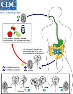 Bacterie kokken, Decaris o vermox contra giardias, Oxiuros y albendazol