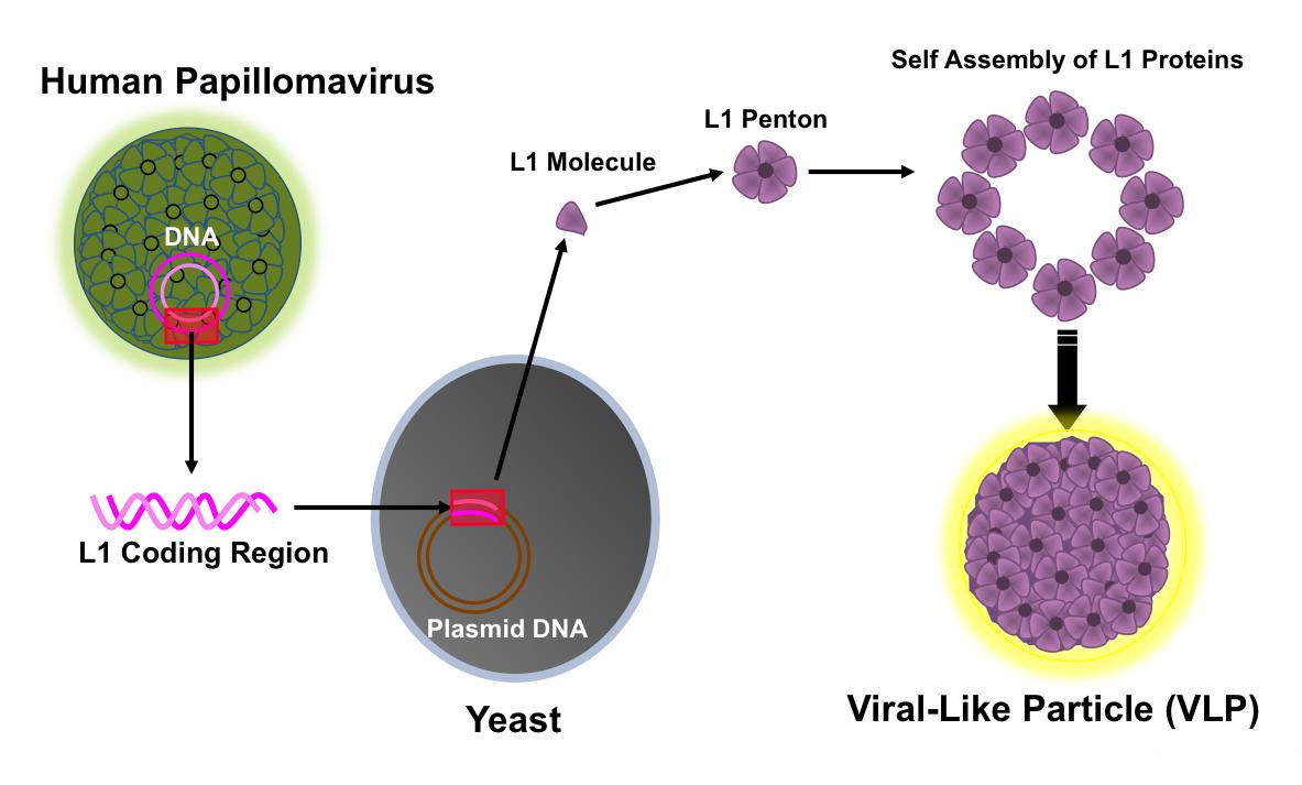 Human papillomavirus hpv and throat cancer