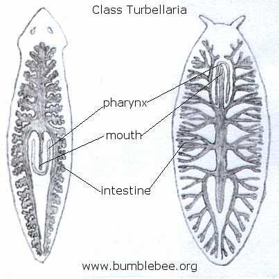 Viermii plaţi (Platyhelminthes) | Itinerarii pontice