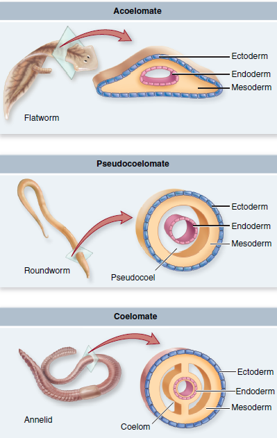platelhelminthes coelom