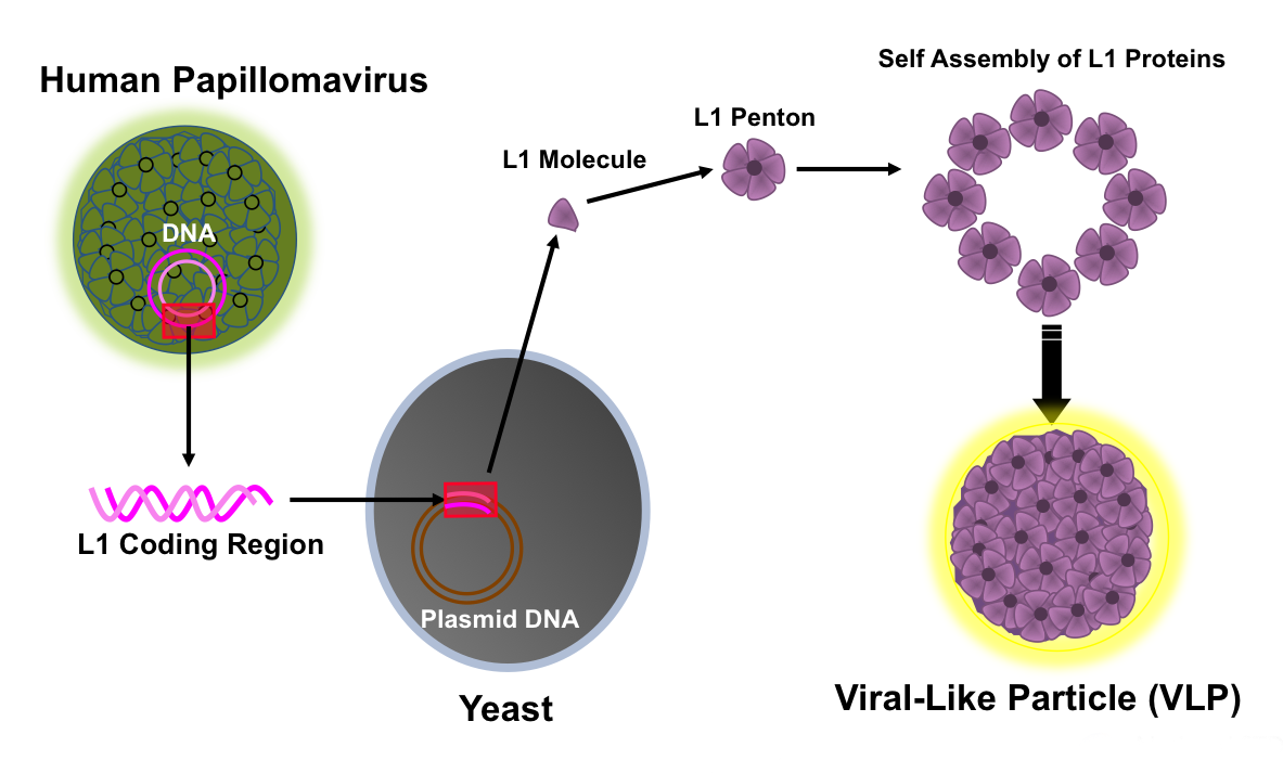 Papilloma Viruses