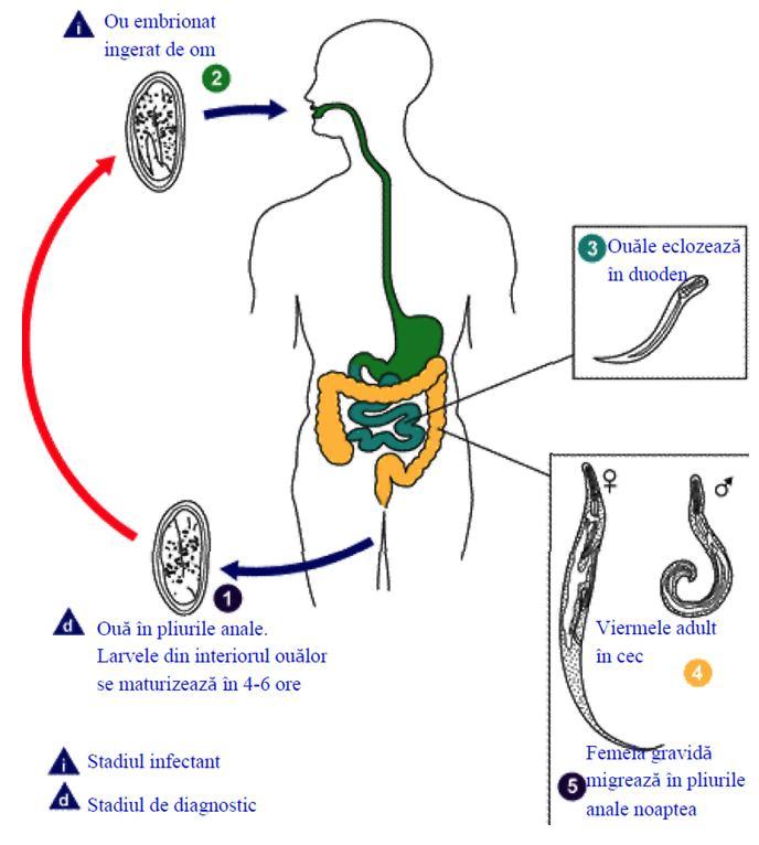 parazitozele intestinale wikipedia