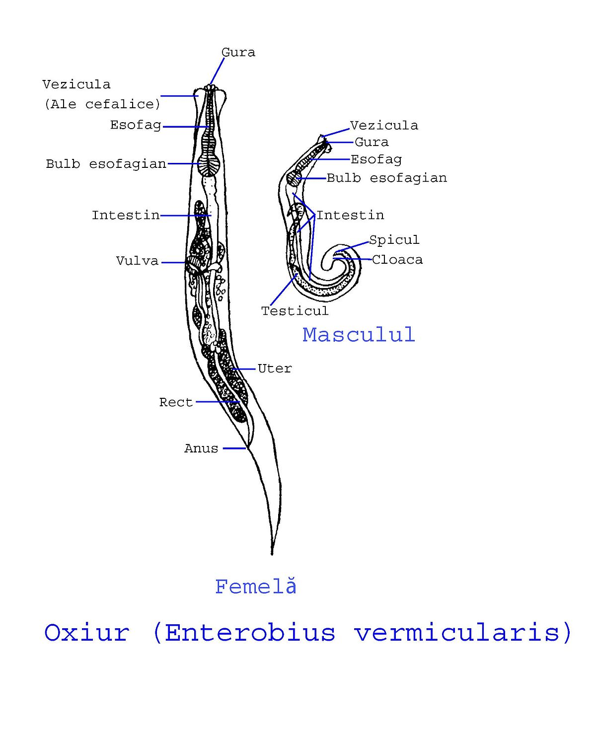 Nome cientifico do oxiurus