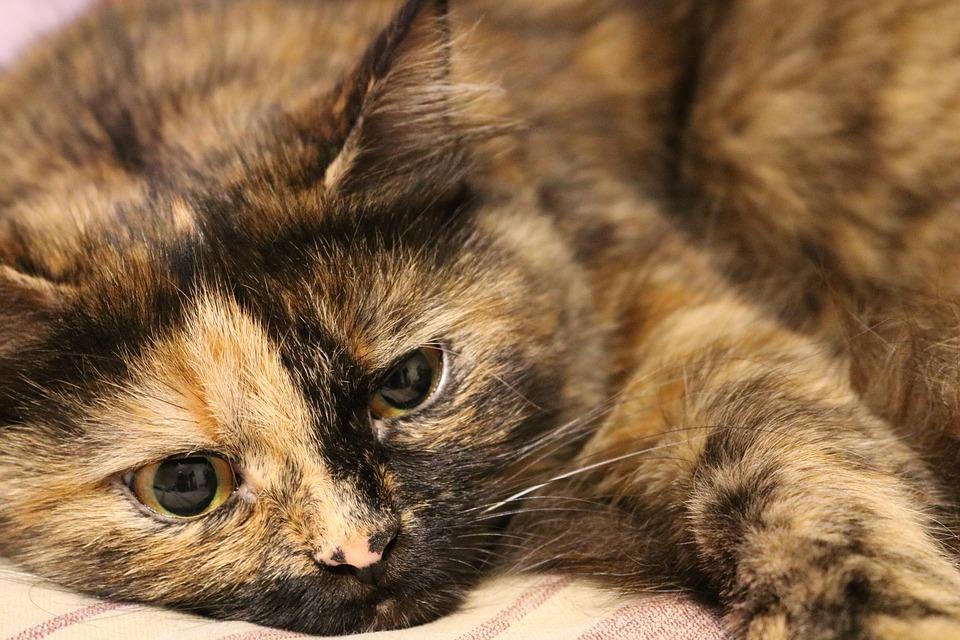 Scabie în simptome de tratament pisici acasă și fotografii