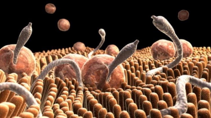 moară paraziții din organism protozoare giardia spp