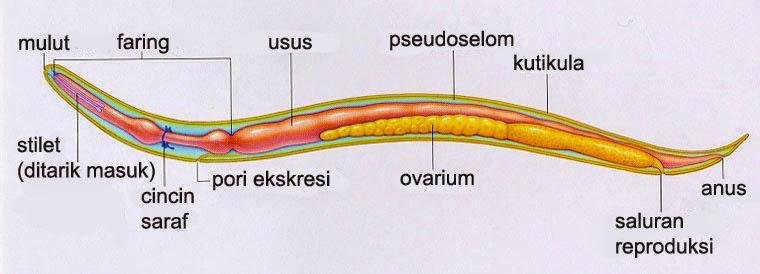Filum nemathelminthes beserta gambar - primariacetateni.ro