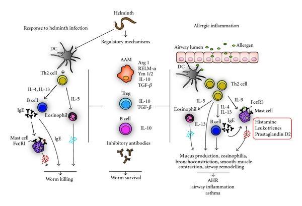 helminth infections immunity mâncărime în viermele rotund