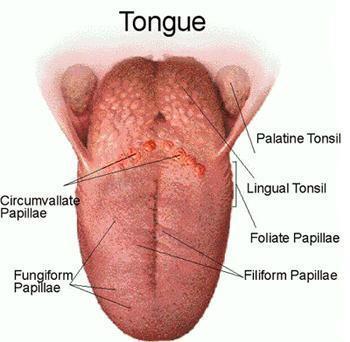 Tongue papillae. Tratamentul stomatitei cu părul mamei