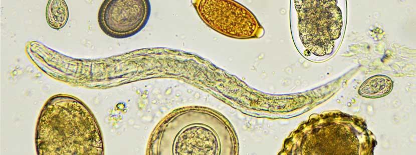Tratament uman cu vierme rotunde, Tratamentul viermilor cu cestode