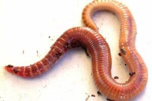 verificați dacă sunt viermi condiloamele pot fi pe limbă