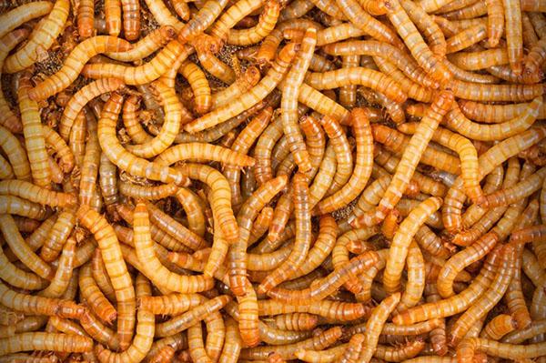 ce să mănânci din viermi