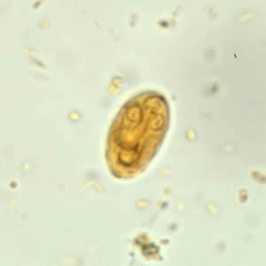 protozoare giardia spp
