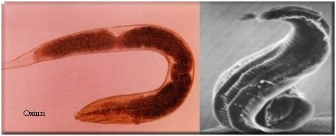 imagini cu paraziți și gazde hpv 16 and ovarian cancer