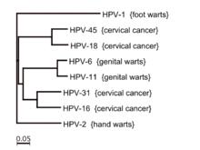 Human papillomavirus especially strains 16 and 18 - Human papillomavirus hpv strains