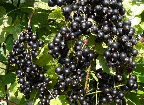 de ce sunt negre plantare periculoase? împotriva viermilor cu spectru larg