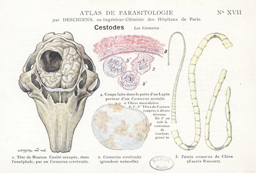 paraziți sălbatici viermii sunt infecții comune