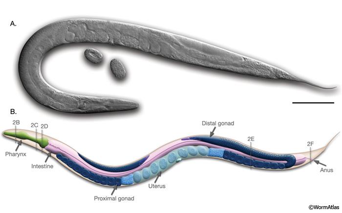 Hermafroditele sunt bullworm