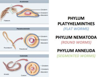 nematode ppt phylum platyhelminthes