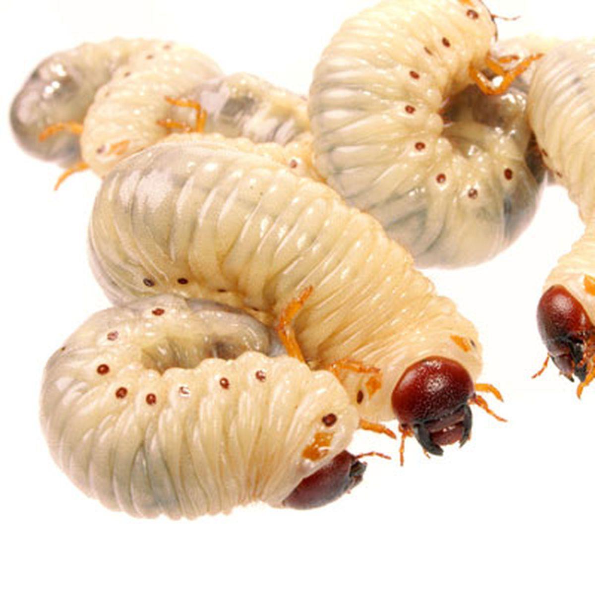acești viermi mor papanicolaou anormal y vph positivo