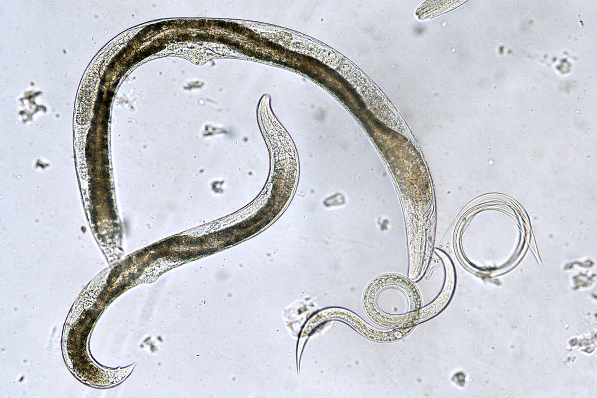 acești viermi mor hpv virus from wart