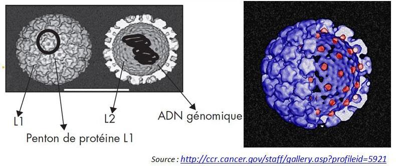 Papillomavirus chez lhomme Traducere