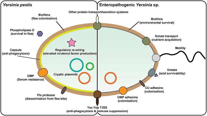 Yersinioza - infectii cu Yersinia
