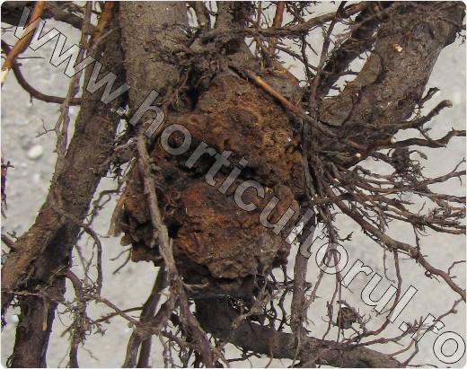 Cancerul bacterian al pomilor fructiferi şi viţei de vie
