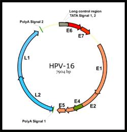 hpv virus smitte