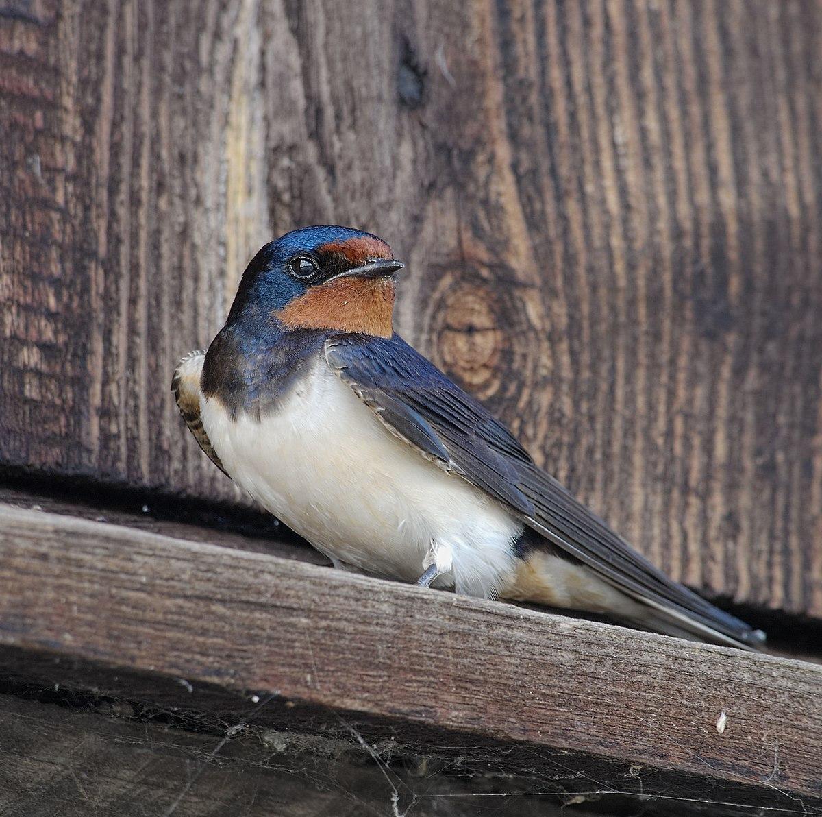 paraziți umani ai păsărilor