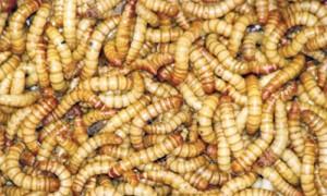 Cum să scoți viermi mici. Cum scoatem viermii din cireșe