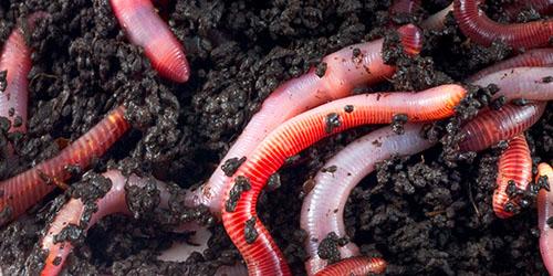 cum să scoți viermi rapid? bacterii vii