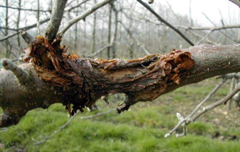 cancerul bacterian al pomilor fructiferi