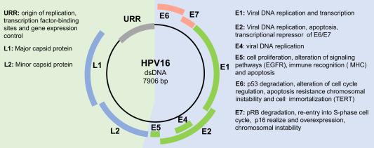 genome organization of human papillomavirus